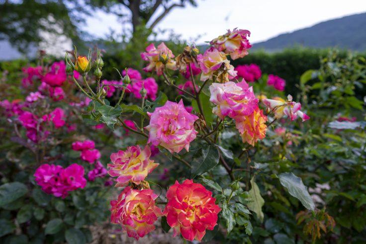 亀水バラ園のバラ3