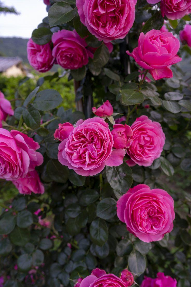 亀水バラ園のバラ4