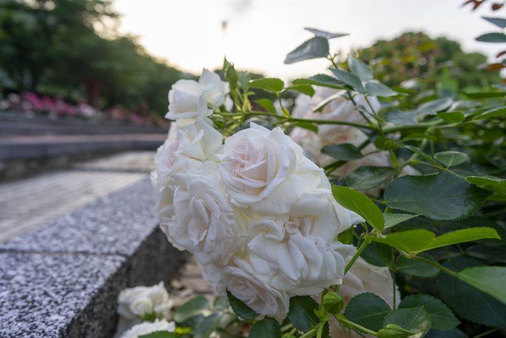 亀水バラ園のバラ5