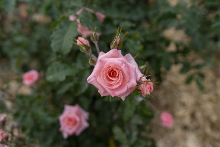 サンポート高松のバラ4