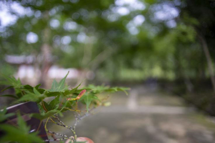 醍醐寺の楓
