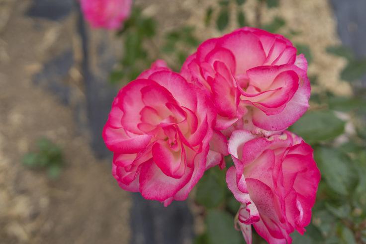サンポート高松のバラ2
