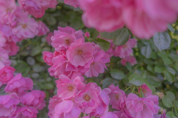 亀水バラ園のバラ6