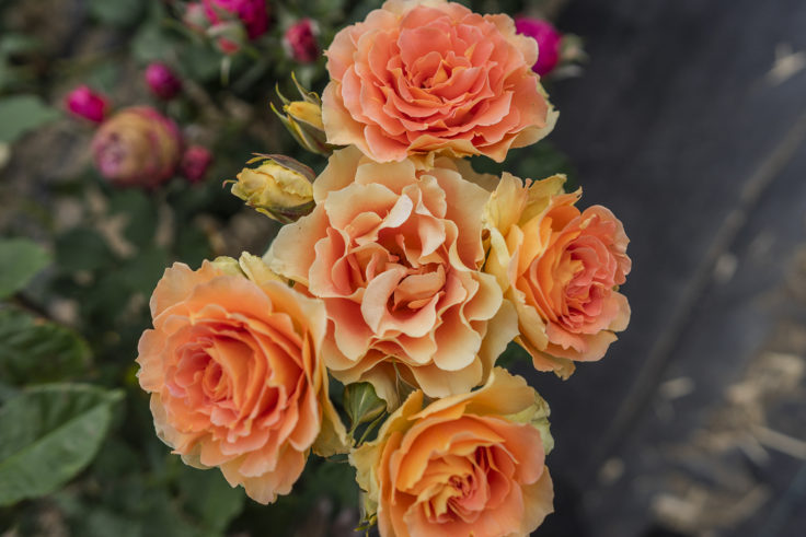サンポート高松のバラ