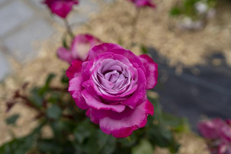 サンポート高松のバラ6