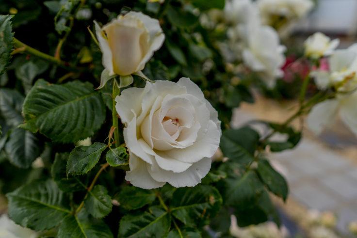 サンポート高松のバラ5