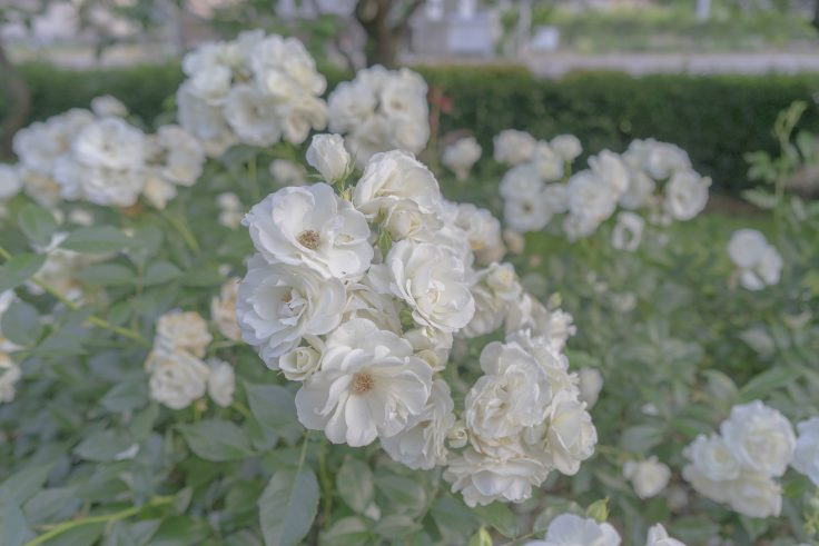 亀水バラ園のバラ12