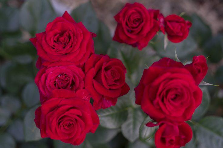亀水バラ園のバラ13