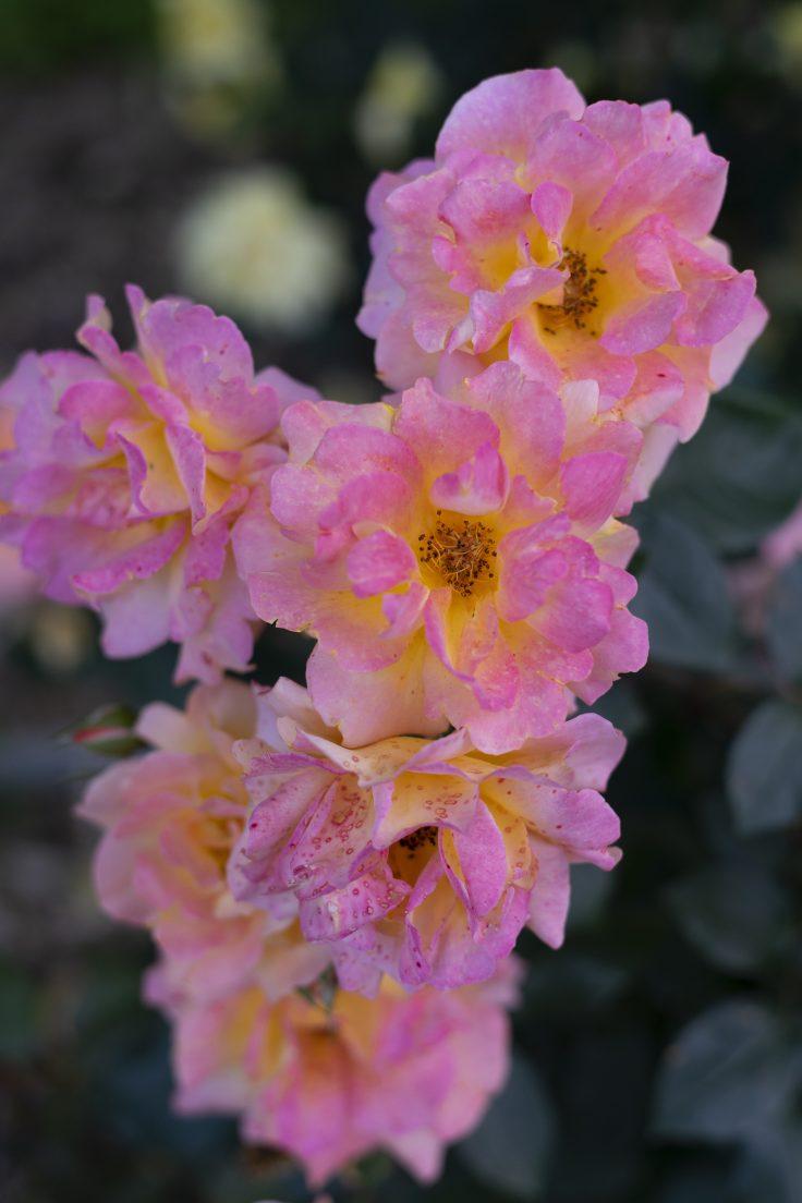 亀水バラ園のバラ14