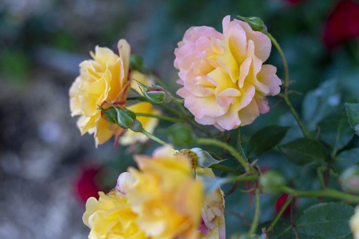 亀水バラ園のバラ15