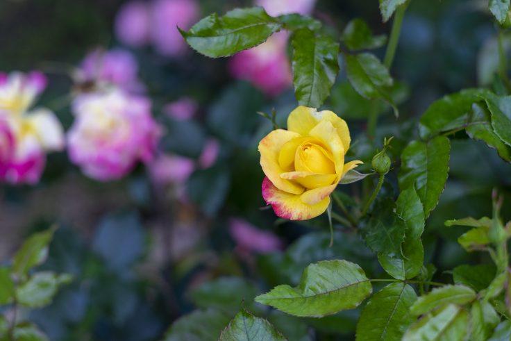 亀水バラ園のバラ16