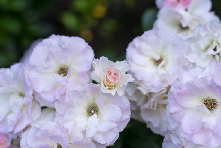 亀水バラ園のバラ17
