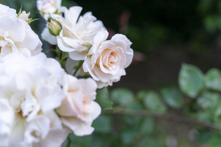 亀水バラ園のバラ18