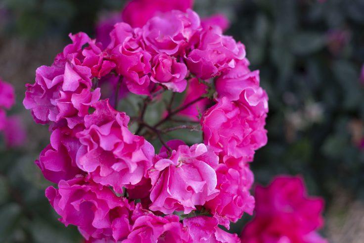 亀水バラ園のバラ19