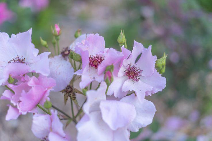 亀水バラ園のバラ20