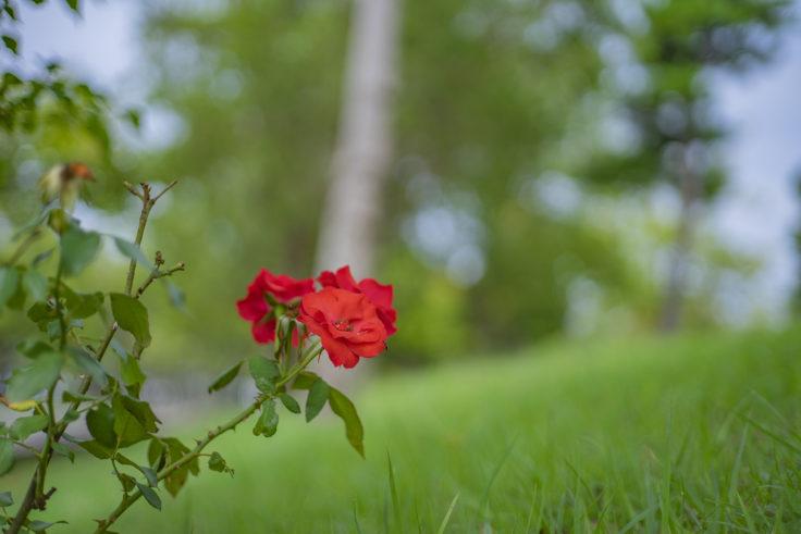 ウチノ海総合公園のバラ