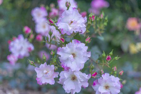亀水バラ園のバラ22