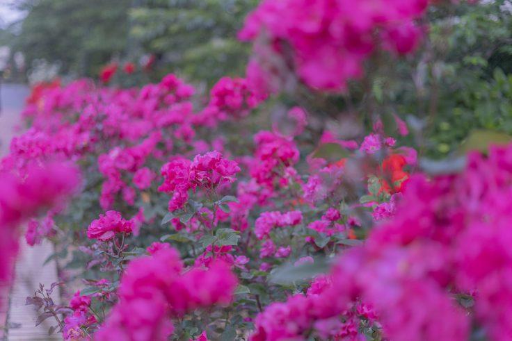 亀水バラ園のバラ25