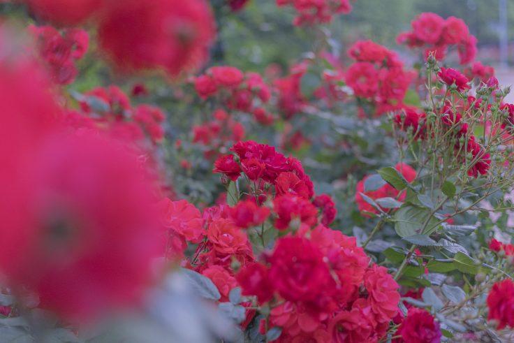 亀水バラ園のバラ26