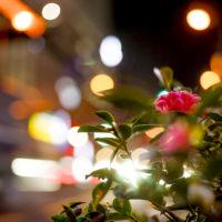 夜の山茶花