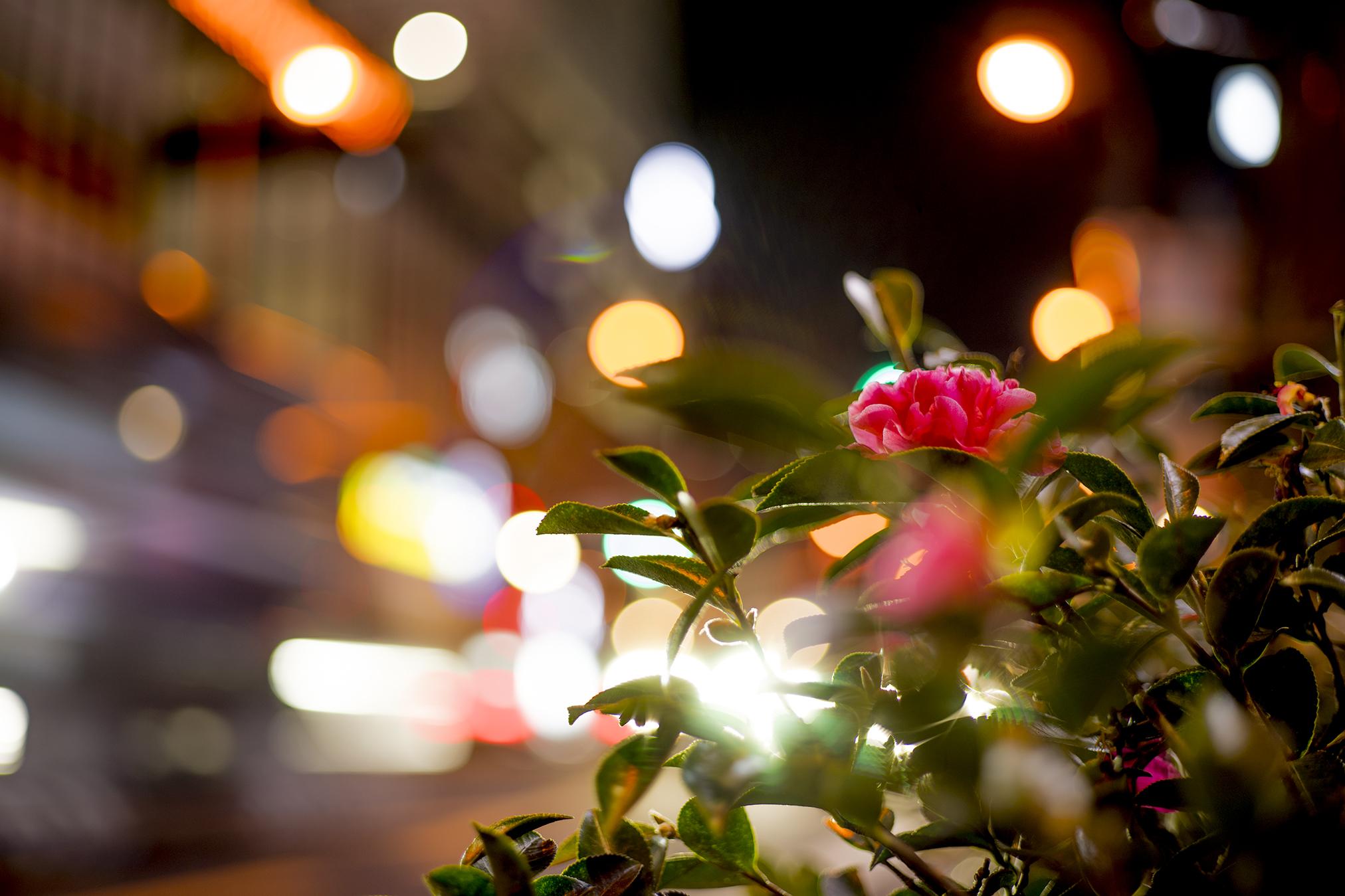 夜の花たちを撮影【α7+Contax G Planar T*45mm F2】