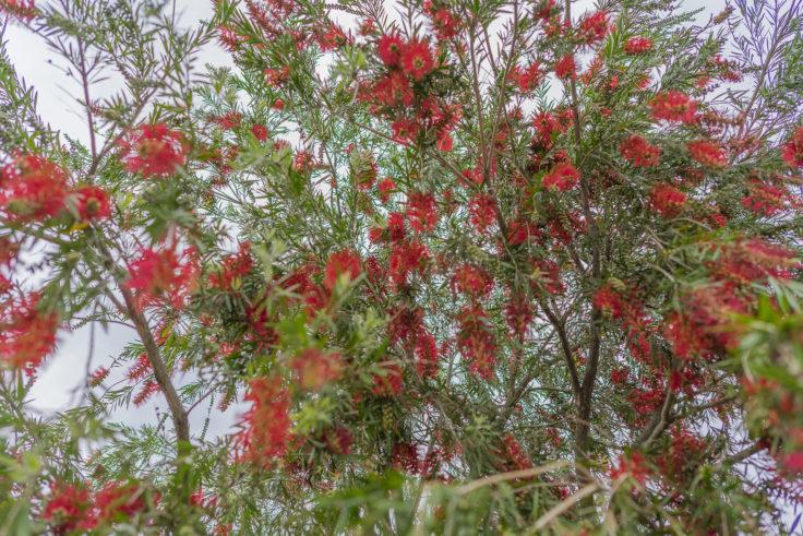 ブラシの木カリステモン2