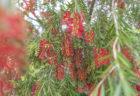 ブラシの木カリステモン