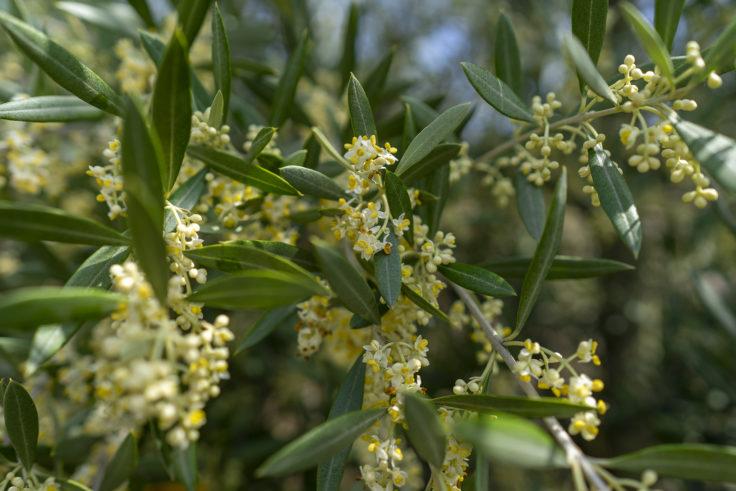 オリーブの花4