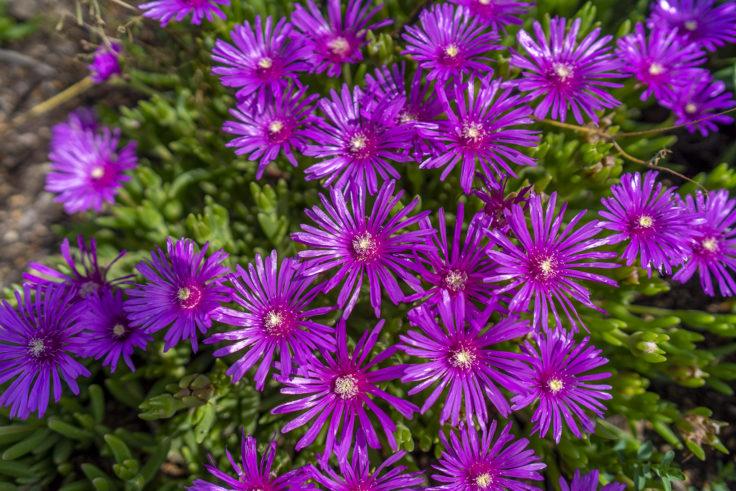 紫のマツバギク