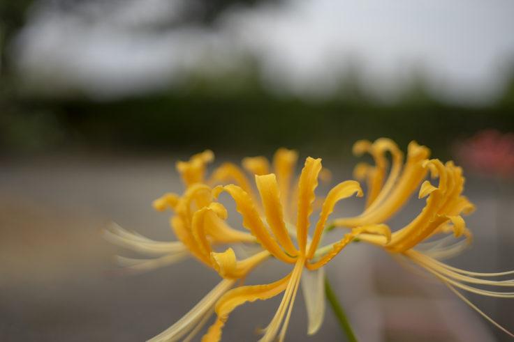 みろく自然公園の黄色の彼岸花