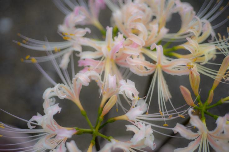 みろく自然公園の白い彼岸花