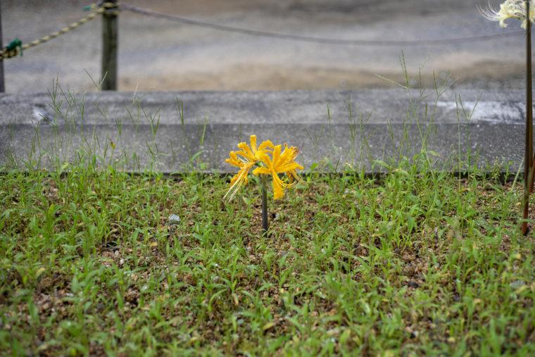 みろく自然公園の彼岸花黄色