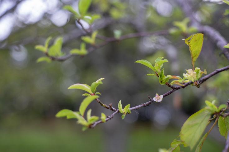 みろく自然公園の十月桜
