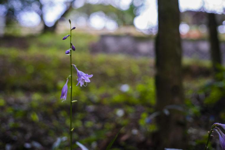みろく自然公園の紫の花