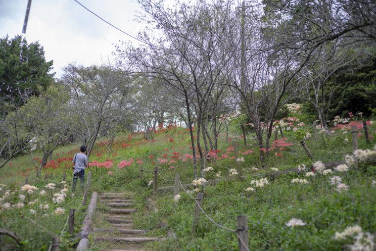 みろく自然公園の彼岸花の谷