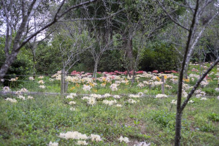 みろく自然公園の彼岸花の谷2