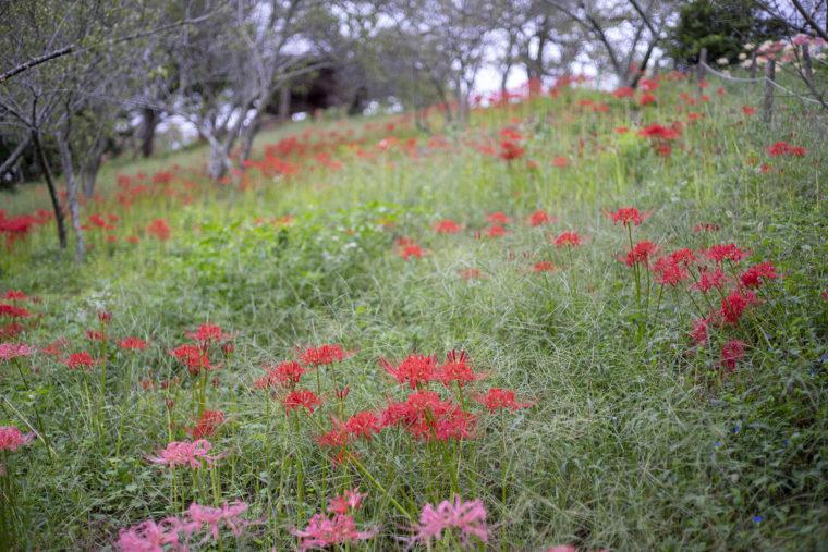 みろく自然公園の紅い彼岸花