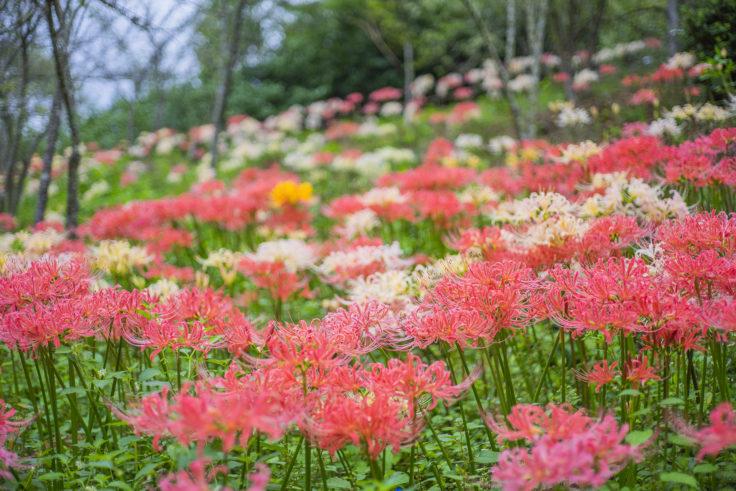 みろく自然公園の3色彼岸花