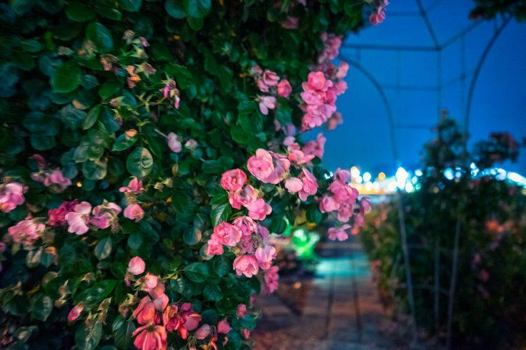 夜のサンポート高松バラ園8