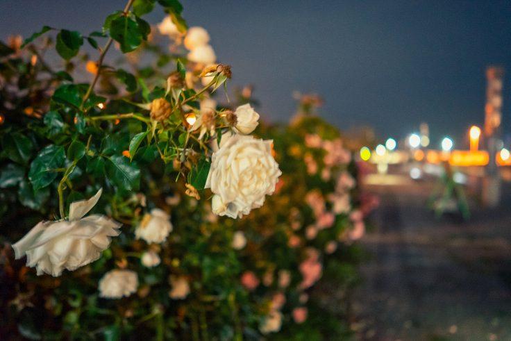 夜のサンポート高松バラ園9