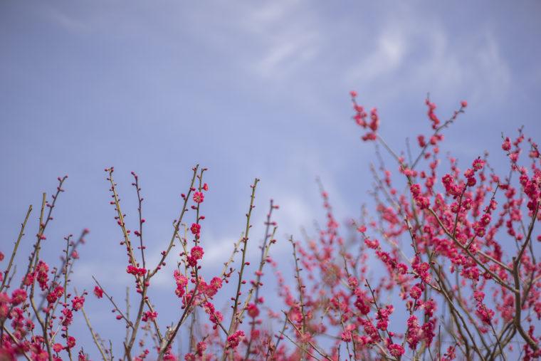 百花園跡の梅の花