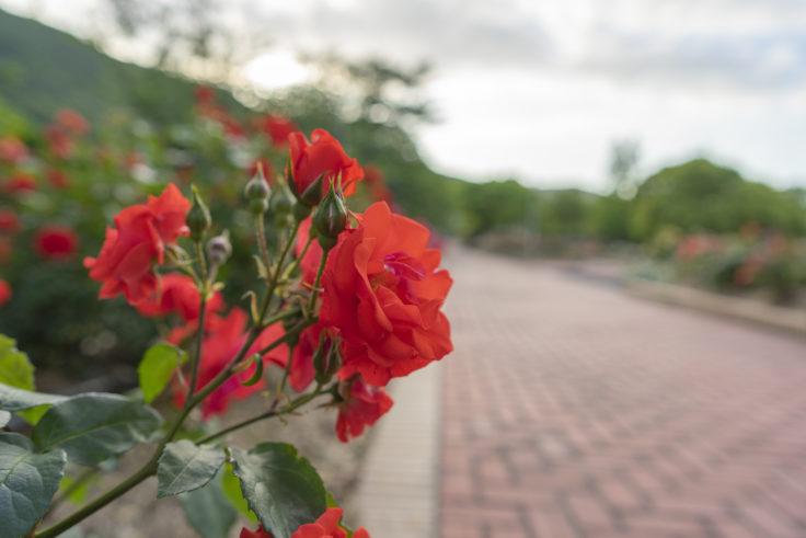 亀水ばら園の赤いバラ