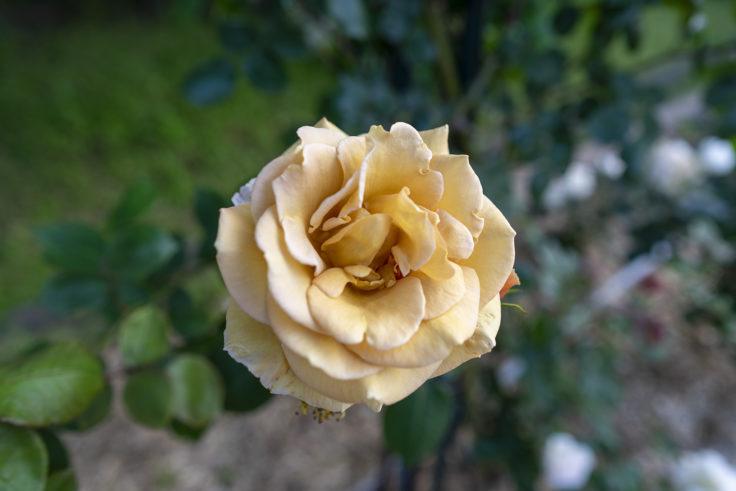茶色のバラ