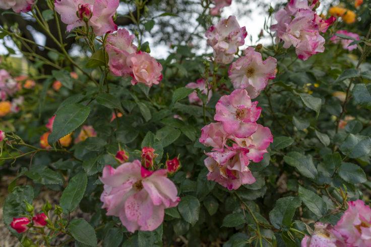 薄いピンクのバラ2
