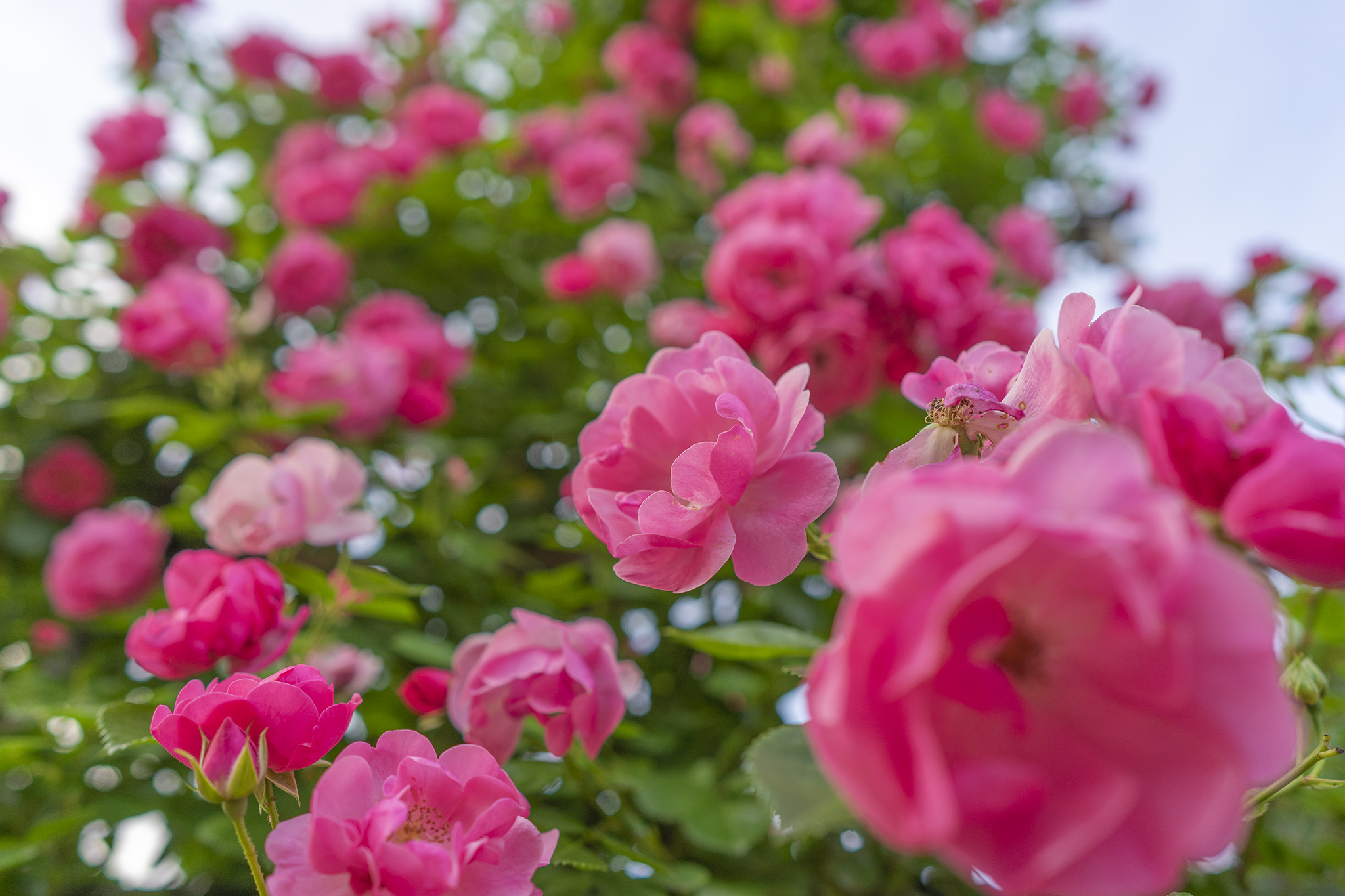 亀水ばら園のバラが見頃。