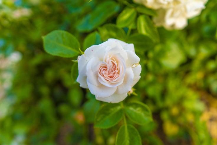 白ピンクのバラ