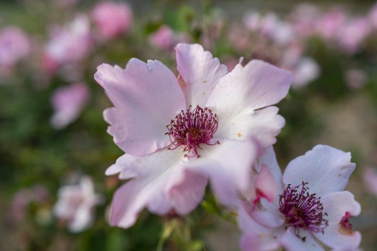 ピンクのバラ6