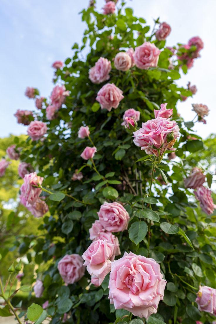 ピンクのバラアーチ