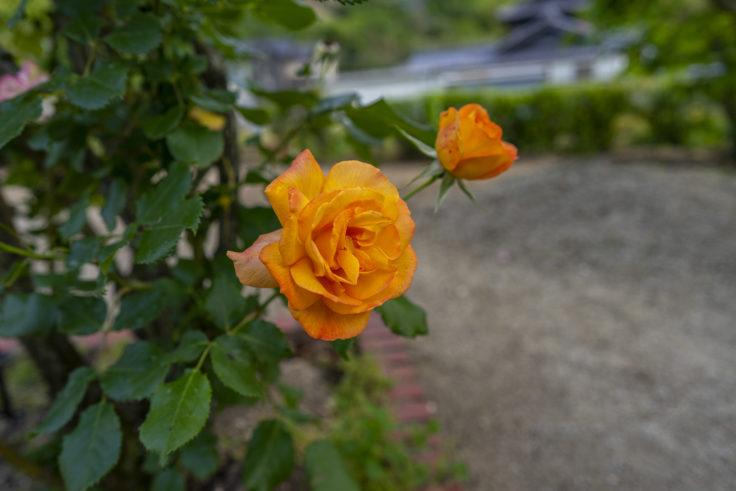 オレンジのバラ2