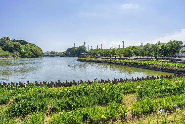 亀鶴公園のハナショウブ